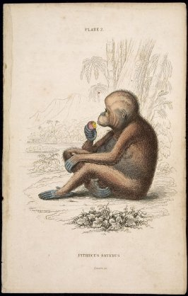 Plate 2, Monkey [Pithecus Satyrus] from William Jardine: The Naturalist's Library