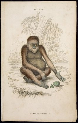 Plate 23, Monkey [Pithecus Satyrus] from William Jardine: The Naturalist's Library