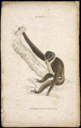 Plate 5, Monkey [Hylobates Agilis. female] from William Jardine: The Naturalist's Library