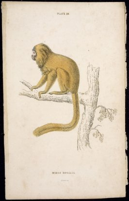 Plate 28, Monkey [Midas Rosalia] from William Jardine: The Naturalist's Library