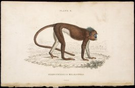 Plate 8, Monkey [Semnopithecus Melalophas] from William Jardine: The Naturalist's Library