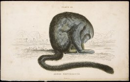 Plate 24, Monkey [Aotes Trivirgatus] from William Jardine: The Naturalist's Library