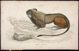 Plate 29, Monkey [Midas Leonina] from William Jardine: The Naturalist's Library