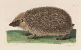 The Hedgehog from the book The British Zoology by Thomas Pennant (London: J & J March, 1766)