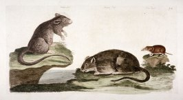 [Rats and a mouse]