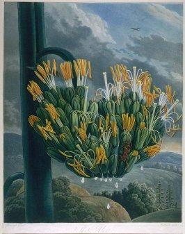 The Aloe, illustration to the book 'The Temple of Flora or Garden of Nature'