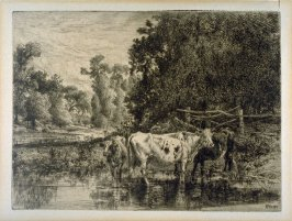 Cattle in Brook, Drinking