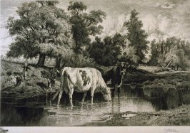 Cattle in Brook Drinking