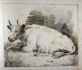 Cow seated, head turned