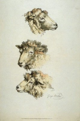Heads of three sheep