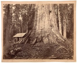 Wm. H Seward, 85 Feet in Circumference. Mariposa Grove of Mammoth Trees, No. 51