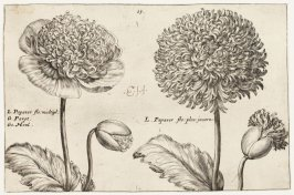 Papaver (The Poppy), plate 15 from the Summer series of the book Hortus Floridus (Utrecht: Officina Calcographica Cr. Passaei, 1614)