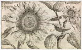 Chrysanthemum Peruvianum (The Greater and Lesser Sunflower), plate 3 from the Autumn series of the book Hortus Floridus (Utrecht: Officina Calcographica Cr. Passaei, 1614)