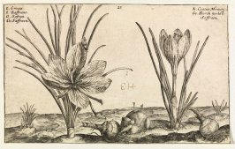 Crocus and Crocus Montan. (Cultivated Saffron and Mountain Saffron), plate 23 from the Autumn series of the book Hortus Floridus (Utrecht: Officina Calcographica Cr. Passaei, 1614)