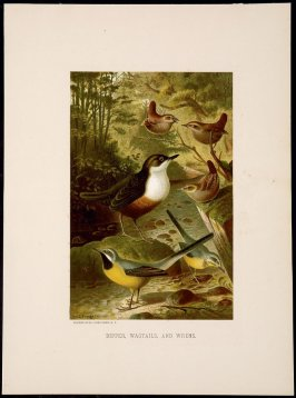 Dipper, Wagtails, and Wrens