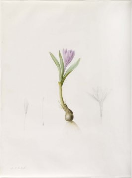 Bulbocodium vernurn, Plate 197 for Les Liliacées (1802-1816)