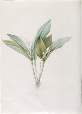 Convallaria majalis (Lily of the Valley), Plate 227 for Les Liliacées (1802-1816)