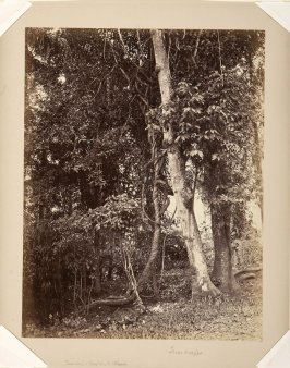 Tree-creeper, Ceylon