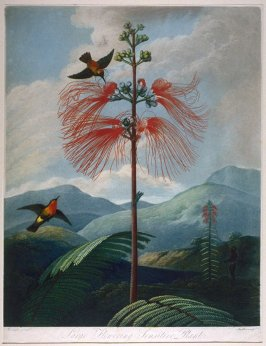 Large Flowering Sensitive Plants from the R. J. Thornton's 'The Temple of Flora or Garden of Nature'