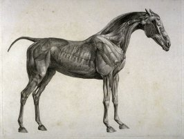 Second of two plates for the Second Anatomical Table of the Muscles, Fascias, Ligaments, Nerves, Arteries, Veins, Glands, and Cartilages of a Horse explained, which is the sixth plate in the book, The Anatomy of the Horse (London: printed by J. Purser, fo