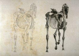 Plate for the Third Anatomical Table of the Skeleton of a Horse explained, which is the tenth plate in the book, The Anatomy of the Horse (London: printed by J. Purser, for the author, 1766)