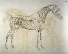 First of two plates for the Fourth Anatomical Table of the Muscles, Fascias, Ligaments, Nerves, Arteries, Veins, Glands, and Cartilages of a Horse explained, which is the eleventh plate in the book, The Anatomy of the Horse (London: printed by J. Purser,