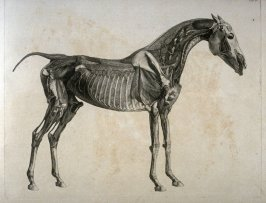 Second of two plates for the Fourth Anatomical Table of the Muscles, Fascias, Ligaments, Nerves, Arteries, Veins, Glands, and Cartilages of a Horse explained, which is the twelfth plate in the book, The Anatomy of the Horse (London: printed by J. Purser,