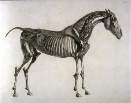 First of two plates for the Fifth Anatomical Table of the Muscles, Fascias, Ligaments, Nerves, Arteries, Veins, Glands, and Cartilages of a Horse explained,which is the fourteenth plate in the book, The Anatomy of the Horse (London: printed by J. Purser,