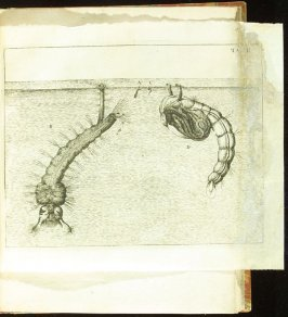 Plate 2 opposite page96 in the book Historia insectorum generalis by Jan Swammerdam, Latin translation by H. Chr. Henninius ( Leiden: Jan van Abkoude, 1733)