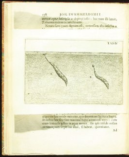 Plate 4 opposite page 139 in the book Historia insectorum generalis by Jan Swammerdam, Latin translation by H. Chr. Henninius ( Leiden: Jan van Abkoude, 1733)