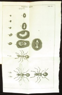 Plate 9 opposite page 176 in the book Historia insectorum generalis by Jan Swammerdam, Latin translation by H. Chr. Henninius ( Leiden: Jan van Abkoude, 1733)