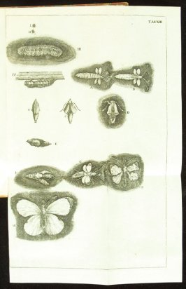 Plate 13 opposite page 202 in the book Historia insectorum generalis by Jan Swammerdam, Latin translation by H. Chr. Henninius ( Leiden: Jan van Abkoude, 1733)