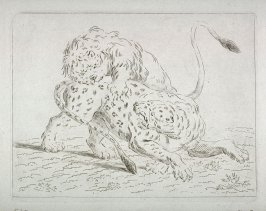 Lion attacking Leopard