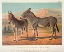 Abyssinian Wild Male Ass & Female Indian Onager