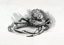 Oyster on back of Spider crab
