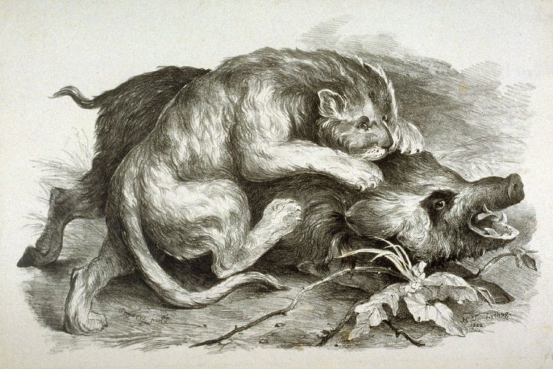 Lion Attacking a Wild Boar