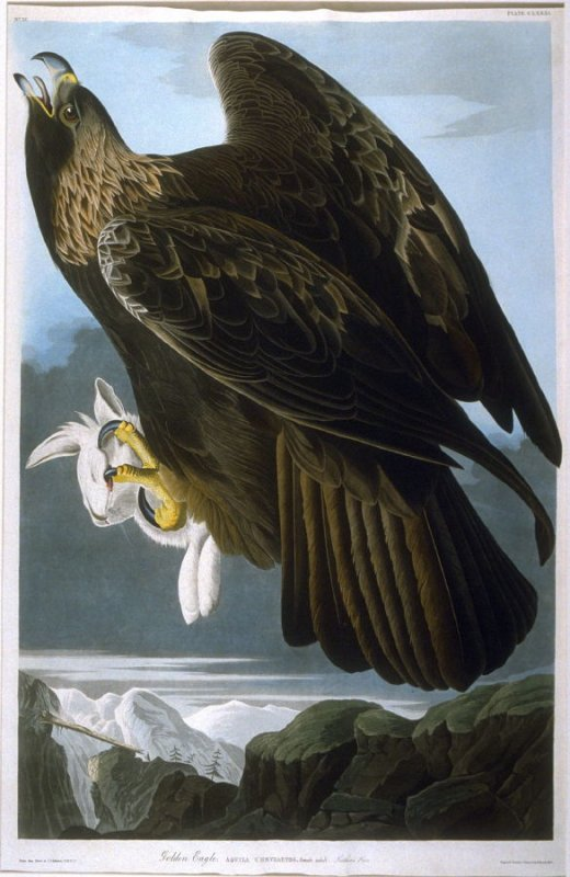 Golden Eagle, plate 181 from The Birds of America