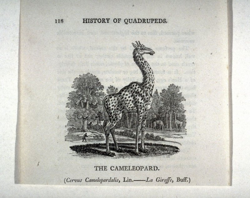 "The Cameleopard from ""History of Quadrupeds"" 2nd Ed. (1811)"