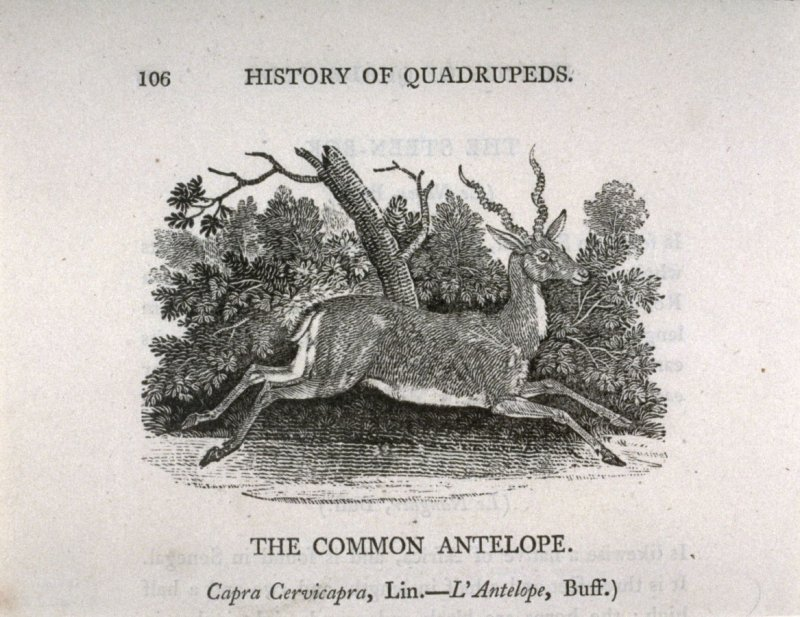 """The Common Antelope from """"History of Quadrupeds"""" 2nd Ed. (1811)"""
