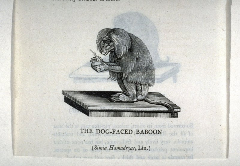 "The Dog-faced Baboon (verso) and The Pig-Tailed Baboon (recto) from ""History of Quadrupeds"" 2nd Ed. (1811)"