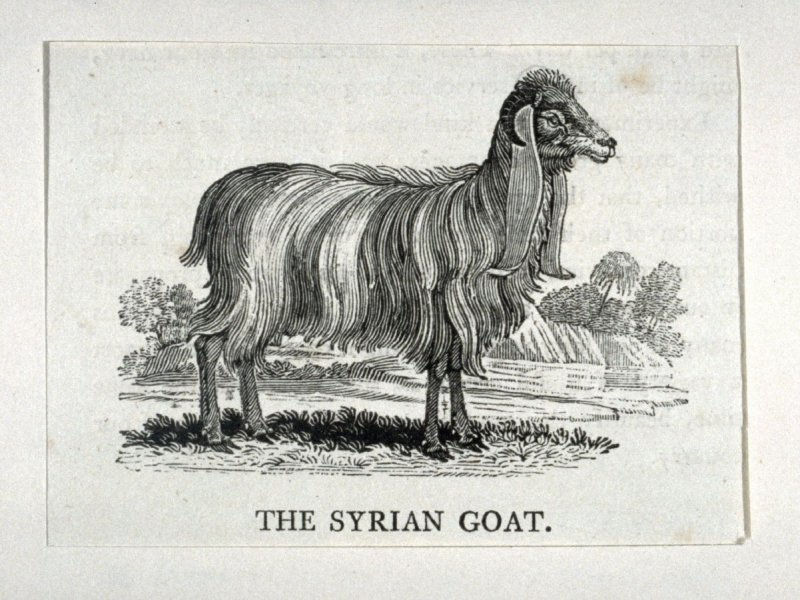 """The Syrian Goat from """"History of Quadrupeds"""" 2nd Ed (1811)"""