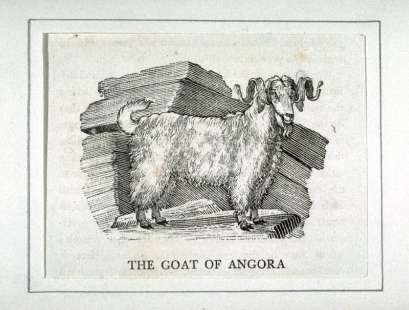 """The Goat of Angora from """"History of Quadrupeds"""" 2nd Ed."""