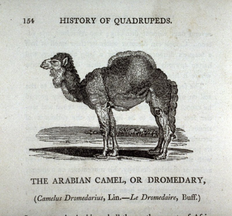 "The Arabian Camel, or Dromedary from ""History of Quadrupeds"" 2nd Ed (1811)"