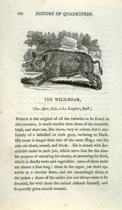 """The Wild Boar from """"History of Quadrupeds"""" 2nd Ed."""