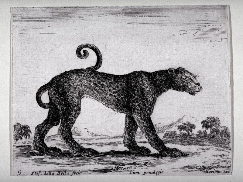 A Leopard, from the series Diversi Animali