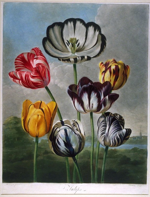 Tulips, from Robert J. Thornton's 'The Temple of Flora or Garden of Nature'