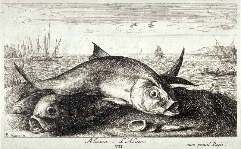 Alausa, L'Alose (The Shad), from Salt Water Fish, Part II