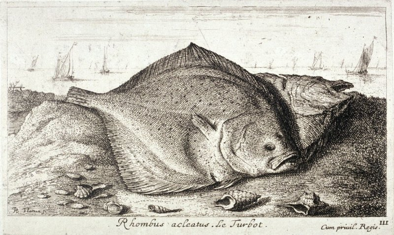 Rhombus, from Saltwater Fish, Part Three