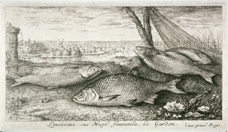 Leuciscus sie Mugil fluuiatilus, Le Gardon (The Roach Fish), from Fresh Water Fish, Part I