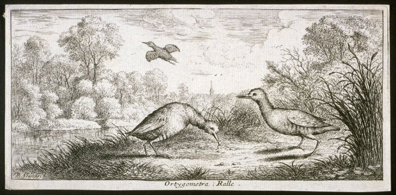 Ortygometra, Ralle (The Rail), from A Book of Birds